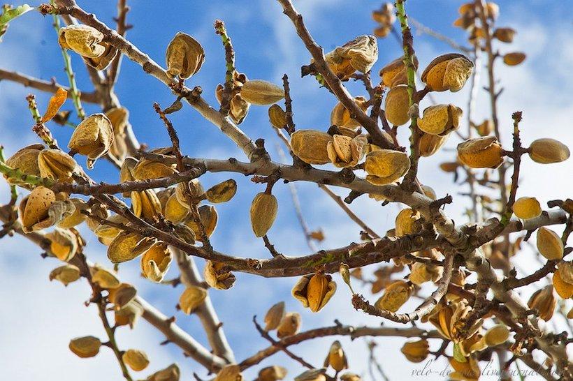 Как растут орехи миндаль