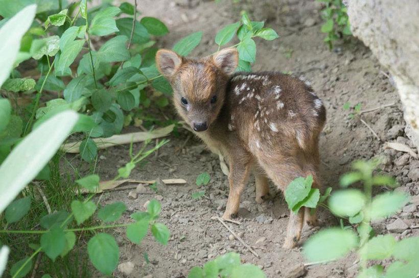 В нью-йоркском зоопарке родился самый маленький олененок в мире!
