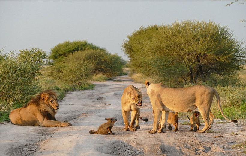 Картинки по запросу Львы увидели раненого лисенка и то, что сделала львица поразило вcех