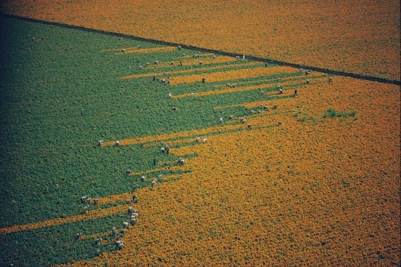 15 ярких и любопытных фото о том, как собирают урожай на полях в разных странах мира