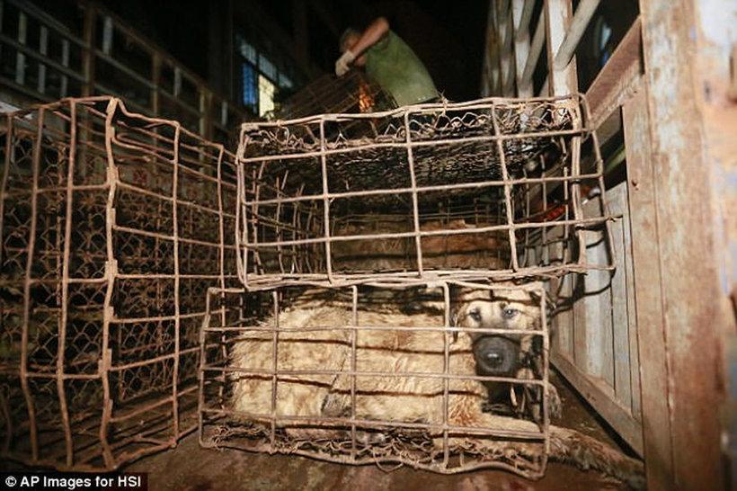 Мясо собак наконец-то запретили употреблять на печально известном фестивале в Китае