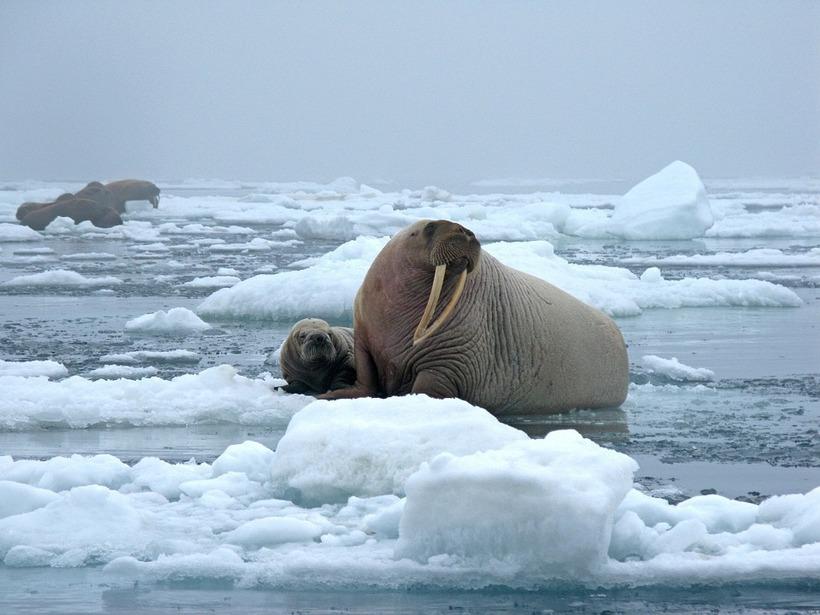 Mammal-Cold-Cow-Snow-Tusks-Bull-Walrus-Ice-1030287.jpg?1517992053