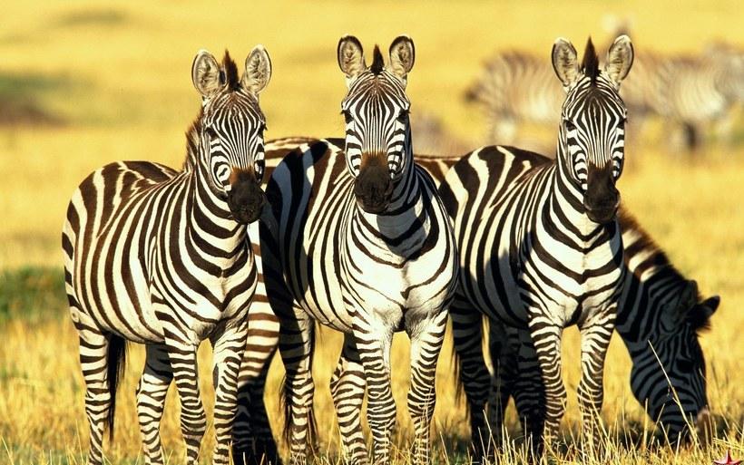 Так все же черная или белая: 10 интересных и удивительных фактов о зебрах