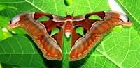 Редка бабочка пальвиноглазка Атлас