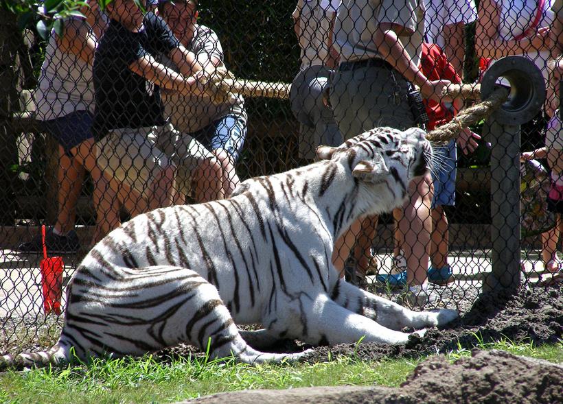 В американському зоопарку можна позмагатися в силі з бенгальським тигром