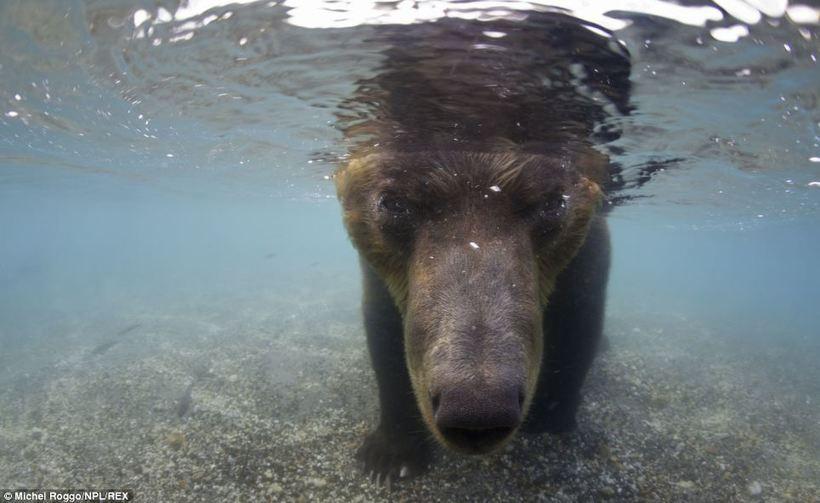 Как рыбачат медведи: волшебный фотопроект с реки Камчатки